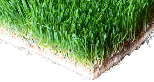 Wheatgrass Nutrition in Fresh Wheatgrass