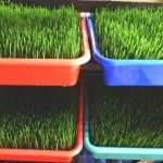 Addy's Fresh Wheatgrass Growing Tray
