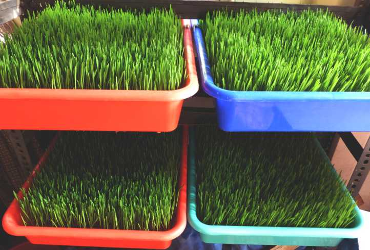 Addy's Fresh Wheatgrass Trays Growing Tray