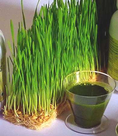 Addy Wheatgrass Juice Doses