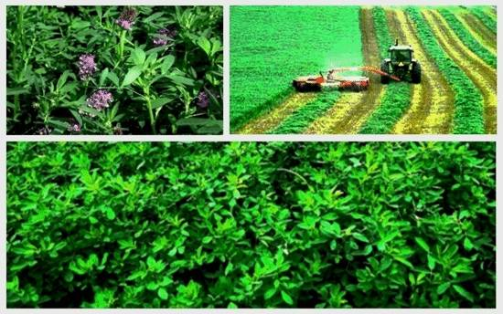 Alfalfa Health Benefits