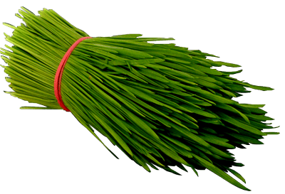 Fresh_Wheatgrass_400 PNG Web-min