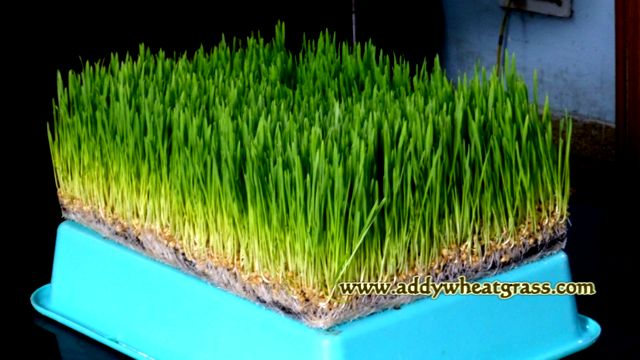 Wheatgrass Grown In Summers