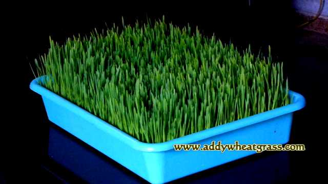 Grow Wheatgrass in Hot Summers
