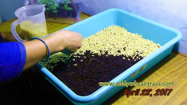 Laying of Wheatgrass Seeds in Tray