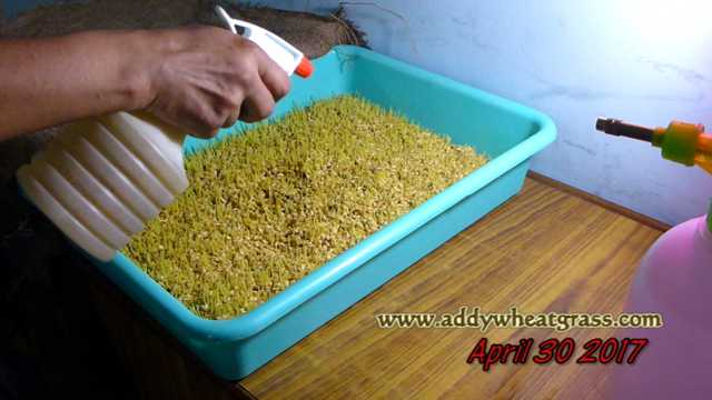 Spray of Neem Oil on Wheatgrass Tray to prevent mold