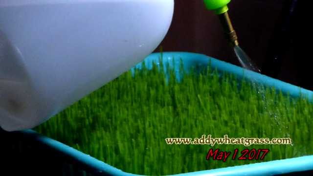 Watering wheatgrass tray